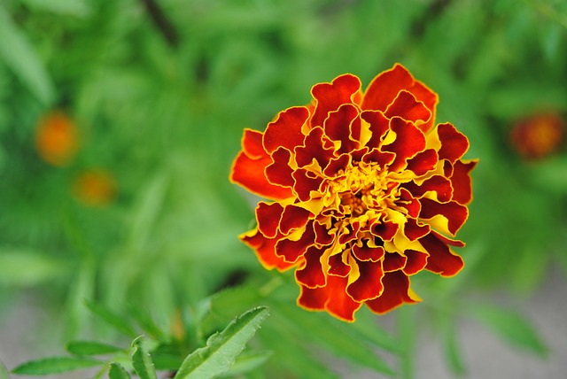 red flower, yellow flower, orange flower, fire flower
