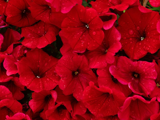 red, petunias, rain, flower, nature, beauty