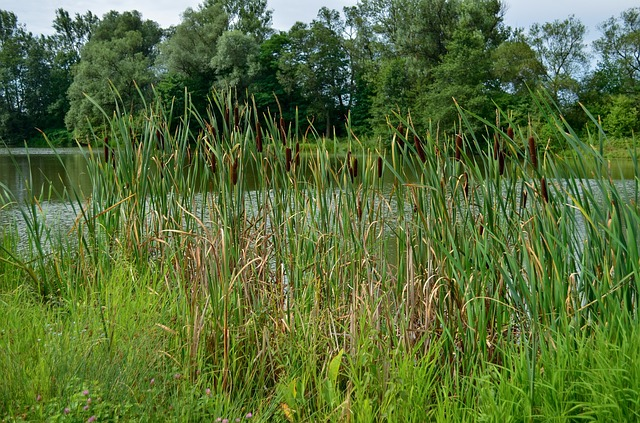 reeds, pond, summer, water, wet, sun, light, nature