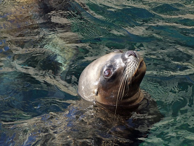 robbe, sea lion otarriinae