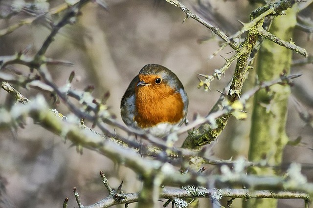 robin, bird, red robin, animal, feathered, nature