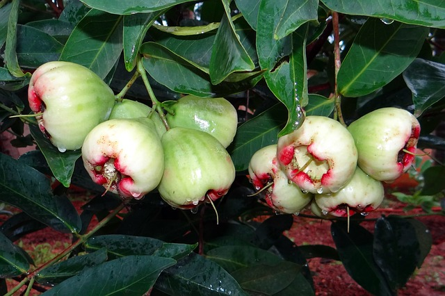 rose apple, fruit, tropical, india, fruits