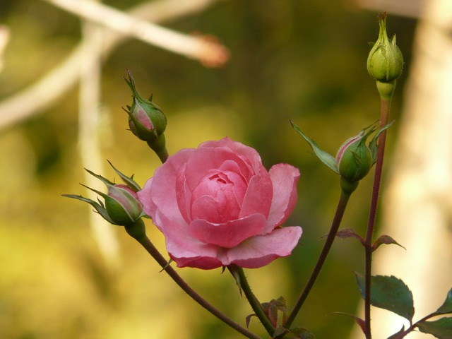 rose, flower, back light, nature, plant, pink