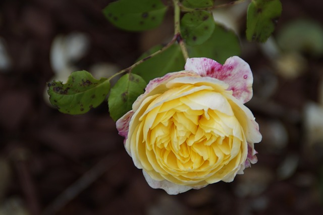 rose, flower, yellow, close, nature