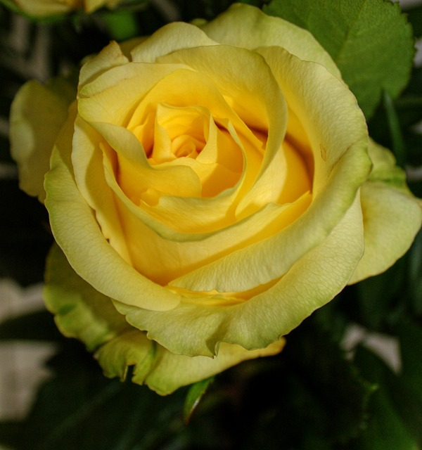 rose, nature, roses, flowers, yellow, yellow rose