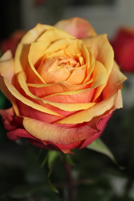 rose, orange, roses, flower, bouquet, flowers, plant