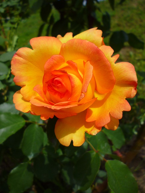 rose, orange, summer flower, nature, flower bud