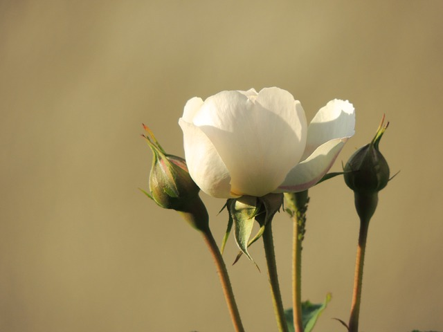 rose, white, flower, bud