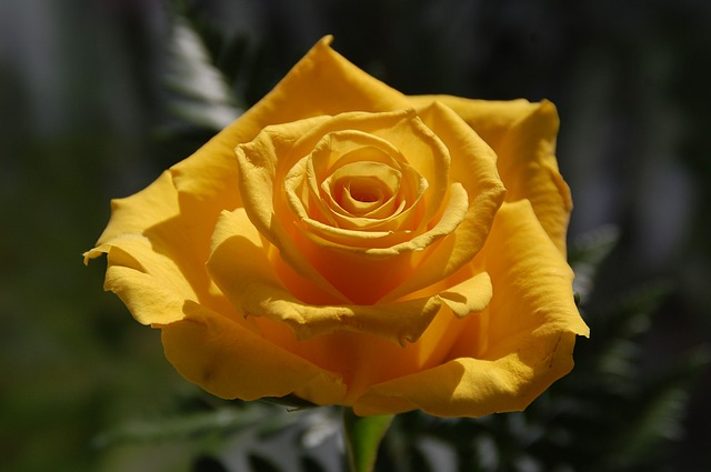 rose, yellow, yellow rose, flower