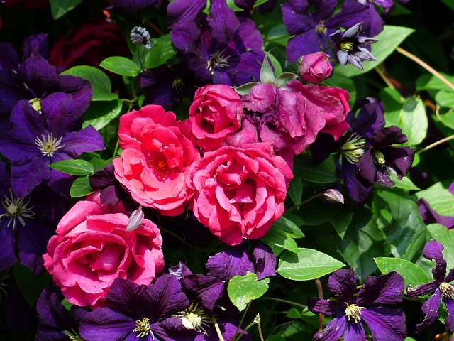 roses, red, flowers, clematis, purple, violet, plant