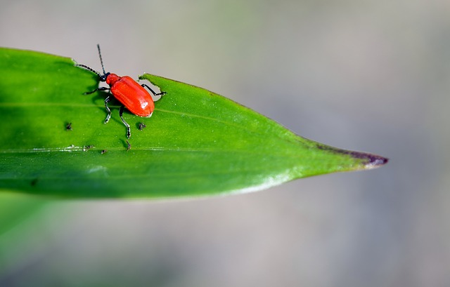 rust-red, flour, beetle, insect, animal, bug