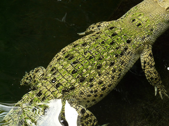 saltwater crocodile, crocodile, reptile, animal