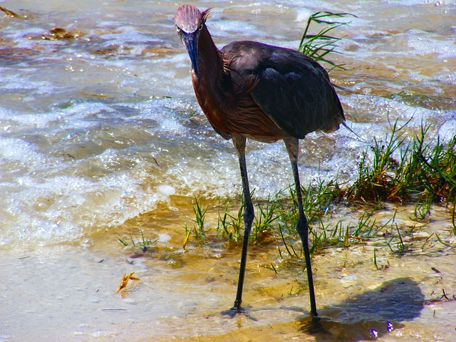 sanibel, florida, reddish, egret, red, water, outdoor