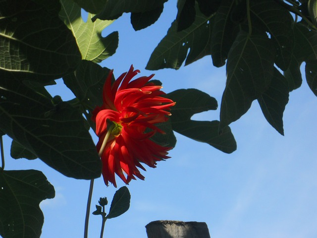 scarlet flower, sky, leaves, red, flower