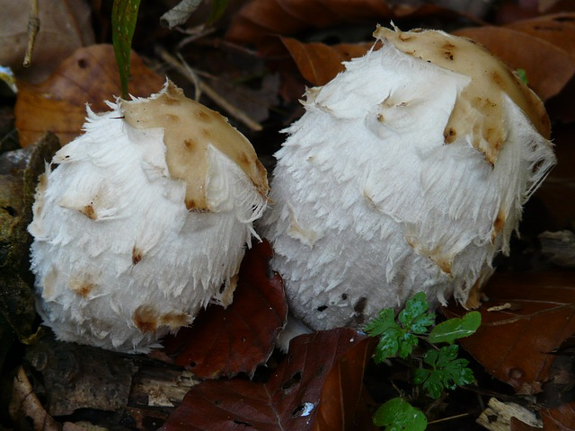 schopf comatus, mushrooms, coprinus comatus