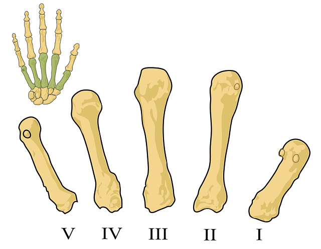science, illustration, biology, metacarpals, numbered