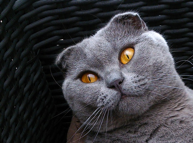 scottish fold, breed cat, cat kitten, gray, animals