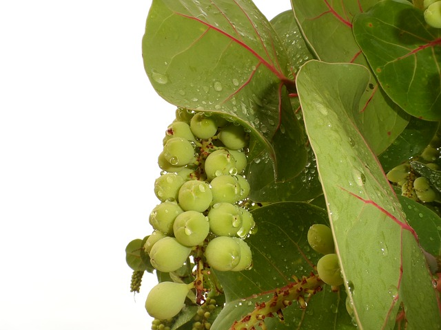 sea grapes, sea grape, bay grape, coccoloba uvifera