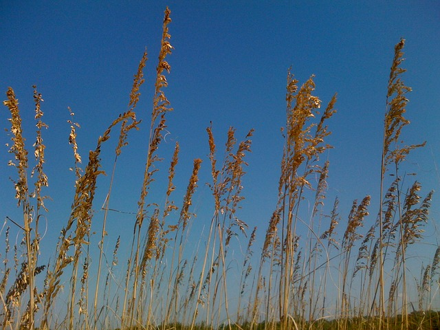sea oats, coast, florida