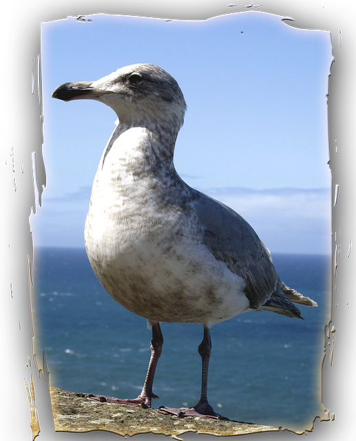 seagull, animal, bird, ocean, pacific, water, frame
