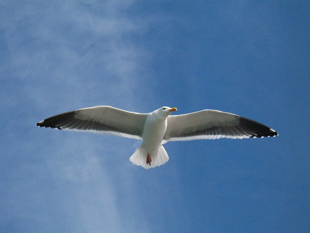 seagull, bird, nature