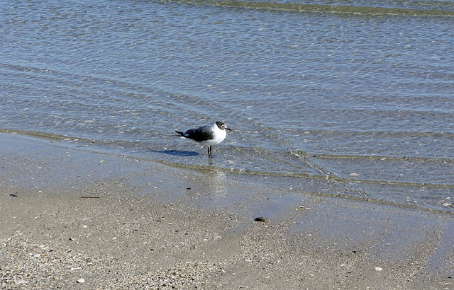 seagull, bird, ocean, water, lonely, beach