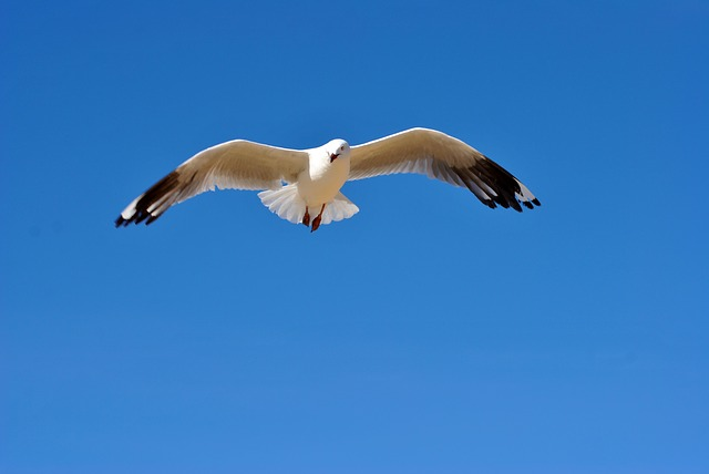 seagull, bird, wildlife, nature, feathers, flying