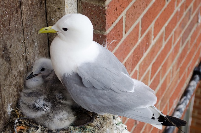 seagull, chicks, birds, family, nest, wings, feathers
