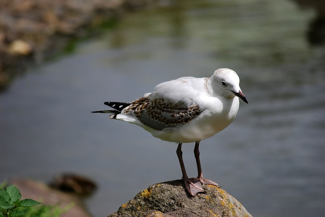 seagull, rock, bird