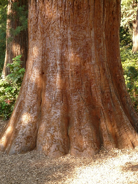sequoia, trunk, bark, large, powerful, conifer, tree