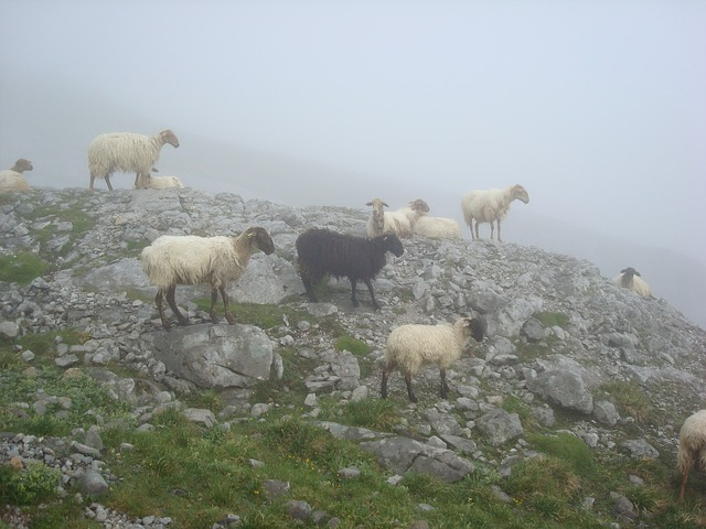 sheep, black, animal, ascension, peak, urriellu, fog