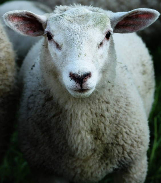 sheep, wool, animal, head, fur, soft