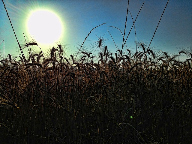 silhouette, wheat, field, crops, meadow, sun, nature