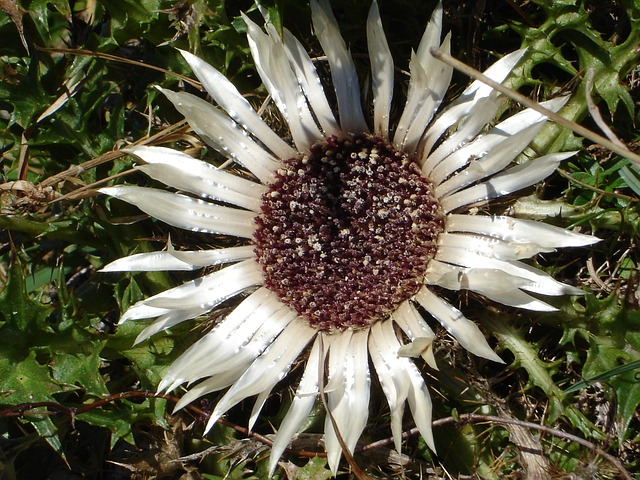 silver thistle, carlina acaulis, thistle, flower, plant