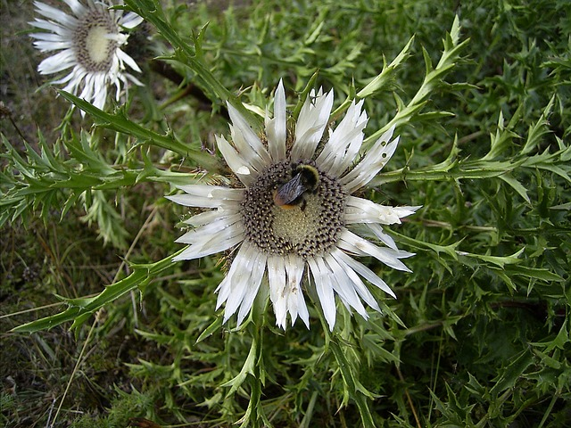 silver thistle, hummel, meadow, insect