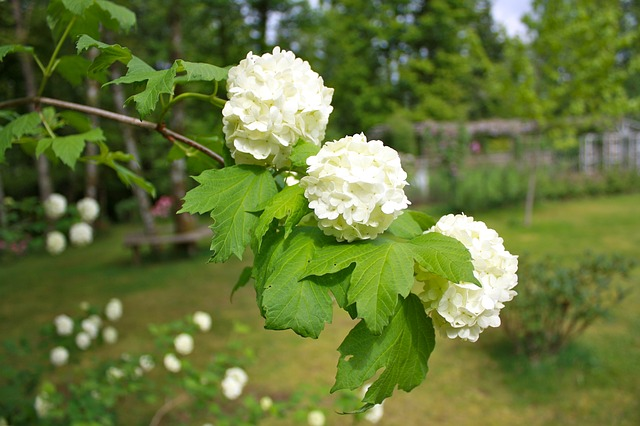 snowball tree, flowers, floral, white, blooms, spring