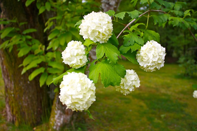 snowball tree, plant, shrub, flowers, ornamental shrubs