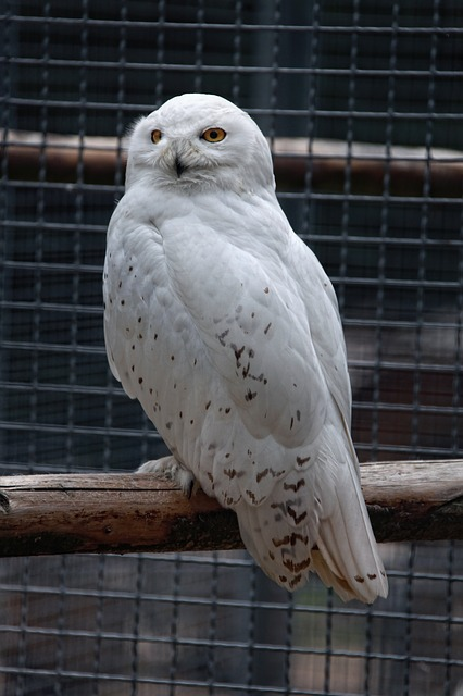 snowy owl, owl, white, animal, bird, enclosure