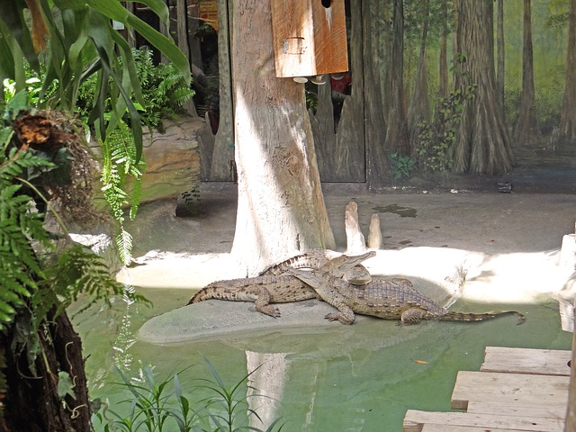 south american alligators, zoo, animals, nature