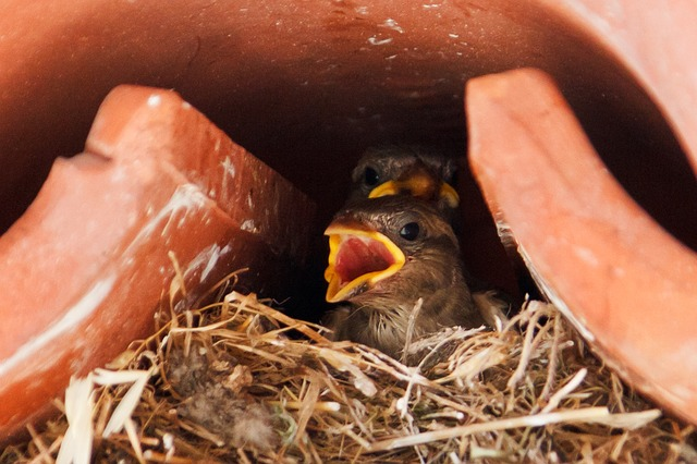 sparrow, animal, animals, baby, bird, birds, brood