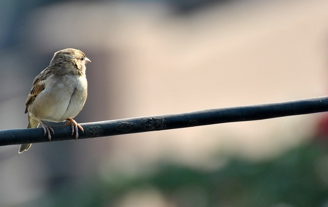 sparrow, bird, brown, sky, fly, birds, nature
