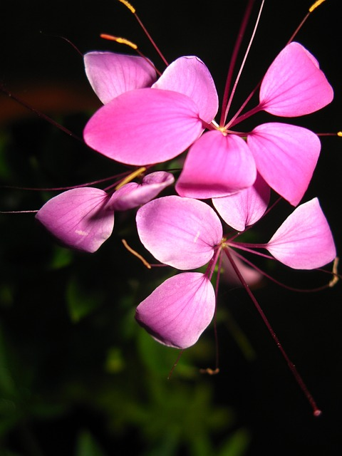 spider, flower, plant, pink, purple