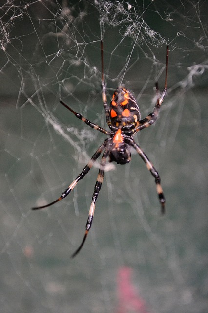 spider, tiger spider, poisonous, creature, danger, wild