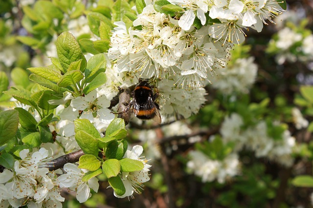 spring, blossom, bee, white, tree, flower, summer