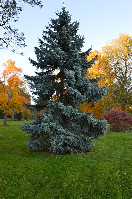 spruce, tree, evergreen, autumn, landscape