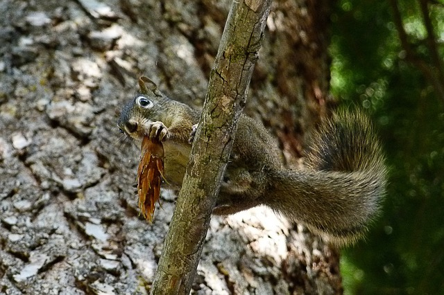 squirrel, animal, forest, branch, cone, eating, tree