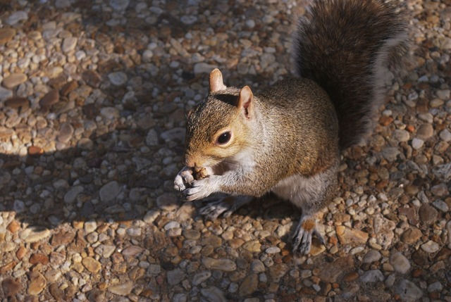 squirrel, animal, tail, gray, rodent, fur