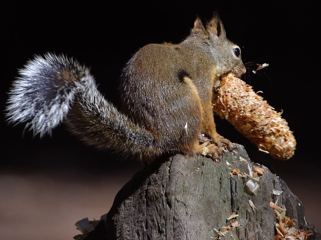 squirrel, chipmunk, nager, tail, rodent, cute, fur