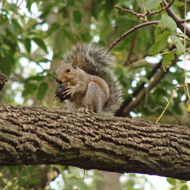 squirrel, eating, tree, branch, nut, outdoors