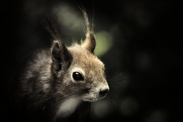 squirrel, mammal, wildlife, animals, outdoors, head